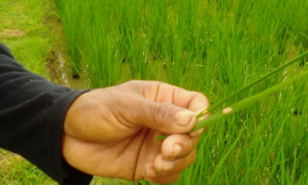 Pertamina EP Mulai Inisiasi Padi Organik di Karawang